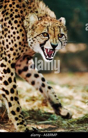 Gepard Acinonyx Jubatus Namibia Knurren - Stockfoto