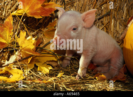 Ganz weiße rosa Ferkel: winzige Ferkel (4 Weg Kreuz Hybrid) sitzen unter orange Ahorn Blätter in Hof von Stroh, - Stockfoto