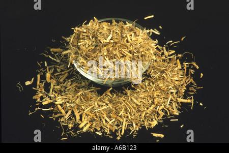 QUECKENWURZEL Heilpflanze Wurzel der Quecken Elymus repens - Stockfoto