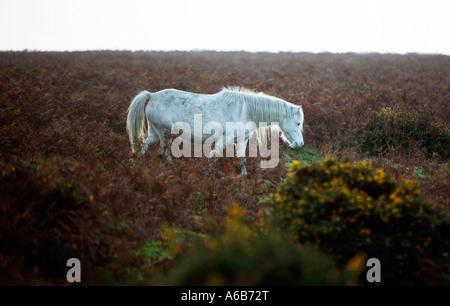 Ein wildes Pony auf Offa s Dyke an der Englisch-walisischen Grenze in der Nähe von Kirche Stretton Shropshire UK - Stockfoto