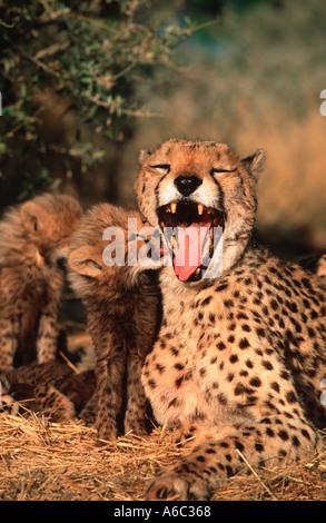 Gepard Acinonyx Jubatus sechs Wochen alten Welpen mit Mutter Afrika, Naher Osten - Stockfoto