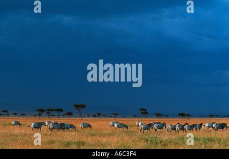 Burchells Zebra Equus Burchelli Migration auf die Ebenen des Mara Maasai Masai Mara G R Kenia zentralen östlichen - Stockfoto