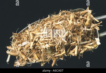 Elymus Repens Quecke Queckenwurzel medizinische Pflanzen Wurzel getrocknet Tee - Stockfoto