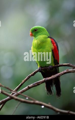 Red winged Parrot Aprosmictus Erythropterus männliche Queensland Australien - Stockfoto