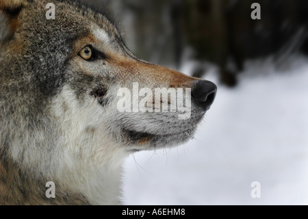 Europäischer Wolf (Canis Lupus Lupus), portrait - Stockfoto