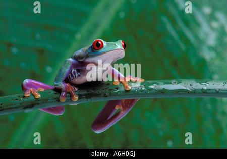 Red Eyed Tree Frog, oder Blätter Frosch, Agalychnis callidryas Costa Rica - Stockfoto