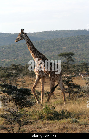 Kenia, Giraffe, afrikanischen MASAI oder KILIMANJARO, Masai Mara - Stockfoto