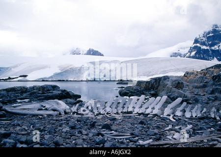 alten Walknochen auf felsigen Küste, Antarktis - Stockfoto