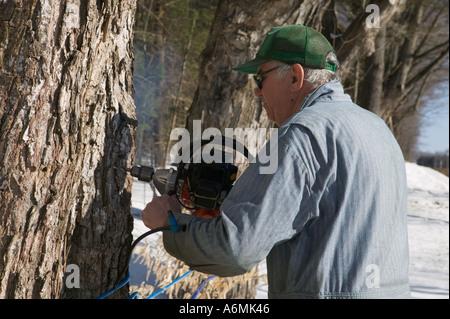 Mann Hämmer anzapfen Ahornbaum für Sap in Ahornsirup Adirondacks New York einkochen zu sammeln - Stockfoto