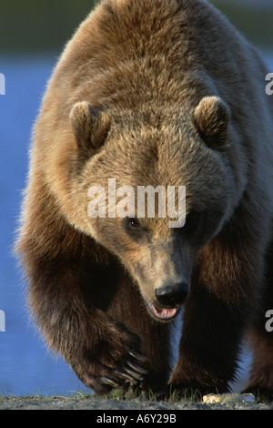 Porträt von Grizzly zu Fuß nach vorne SC AK Gefangenschaft Sommer Großwild Alaska - Stockfoto
