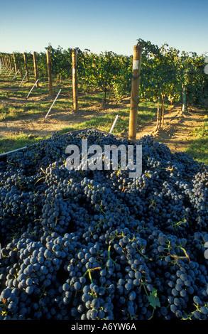 Cabernet-Sauvignon-Trauben geerntet auf sieben Hügeln Weinberge L Ecole blockieren Walla Walla Valley Washington - Stockfoto