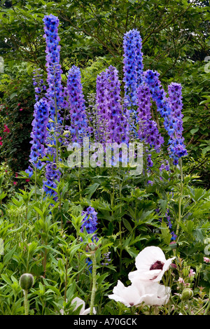 Blauer Rittersporn und weißen Mohn Papaver Alba am Broadleas Gärten, Wiltshire, England, UK - Stockfoto