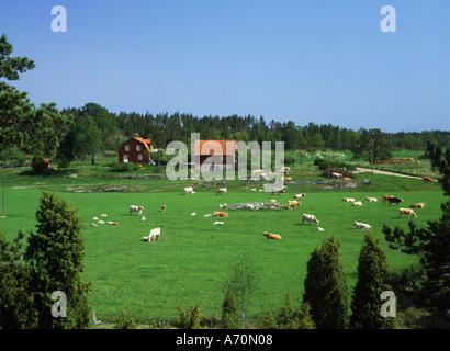 Kühe grasen auf Bauernhof mit typischen roten Haus in Oster Gotland Schweden - Stockfoto
