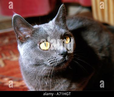 Zoologie / Tiere, Säugetier / Säugetier, Katzen (Felidae), Chartreux Katze, Porträt, Nahaufnahme, Hauskatze, Kartäuser, - Stockfoto