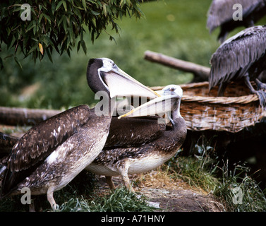 Zoologie / Tiere, Vogelgrippe / Vögel, weißer Pelikan (Pelecanus Onocrotalus), Jungtier mit dunklem Gefieder, Vogelpark - Stockfoto