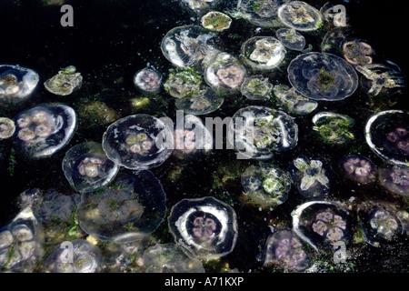 Zoologie / Tiere, Hautverletzungen, Gelee, (Aurelia Golden), einige Mond Mond Jellys und anderen Quallen im Wasser, - Stockfoto