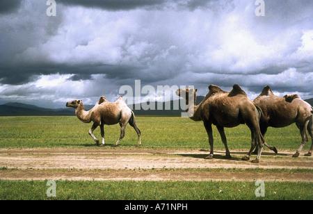 Zoologie / Tiere, Säugetier / Säugetier, Kamele, baktrische Kamel (Camelus Ferus Bactrianus), Kamele in der Wüste - Stockfoto