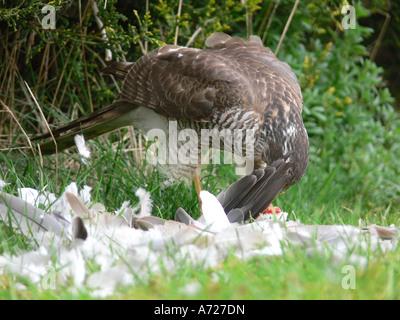 Weibliche Sperber Accipiter Nisus Fütterung auf Kragen Taube Beute - Stockfoto