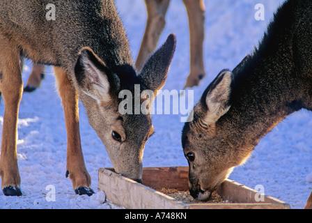 Zwei junge Rehe füttern - Stockfoto