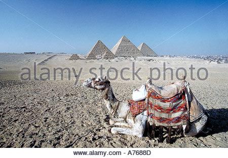 Kamel sitzen in der Nähe der Pyramiden von Gizeh - Stockfoto