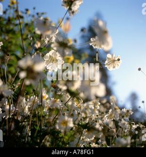 Hinterleuchtete doppelte weiße Anemonen im Spätsommer Carmarthenshire Wales UK - Stockfoto