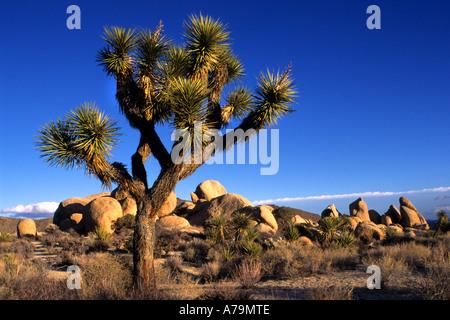 Joshua Tree Nationalpark Yucca Brevifolia ist ein Einkeimblättrigen Baum native die Staaten Kalifornien, Arizona - Stockfoto