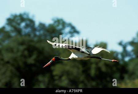 Sattel in Rechnung Storch im Flug Okavangodelta, Botswana - Stockfoto