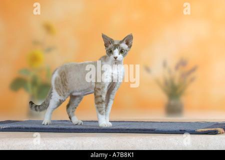 Devon Rex Cat - Stockfoto