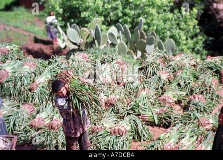 Ein Junge trägt Gemüse für den Markt außerhalb eines der vielen kleinen Dörfern unter dem Atlas-Gebirge in Marokko - Stockfoto