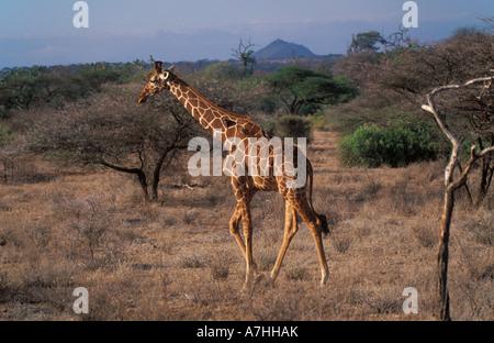 Netzartige Giraffe Giraffa Plancius Reticulata, Samburu National Reserve, Kenia - Stockfoto