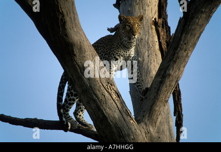 Leoparden in einem Baum, Panthera Pardus, Samburu National Reserve, Kenia - Stockfoto