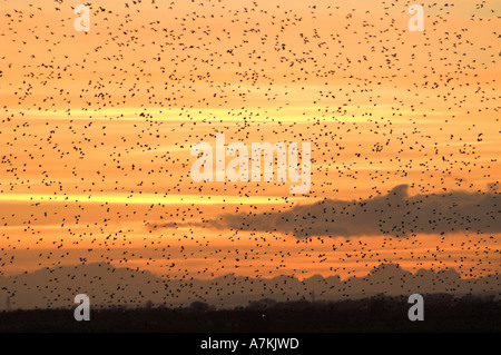 Stare sammeln Roost bei Sonnenuntergang im Winter Sturnus vulgaris - Stockfoto