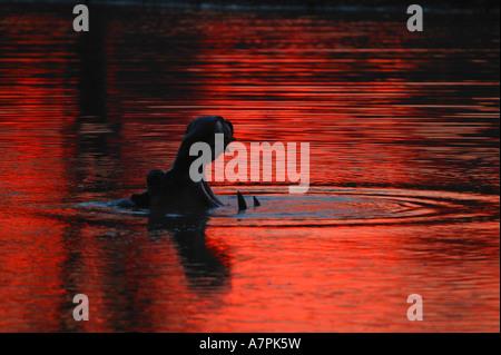Silhouette Nilpferd Gähnen mit einem blutroten Sonnenuntergang Himmel spiegelt sich im Wasser - Stockfoto