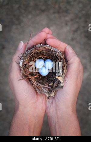 Hände halten ein Nest und drei blauen Eiern Notgroschen Einsparungen Konzept - Stockfoto