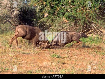 Wldebeest mit territorialen Kampf - Stockfoto