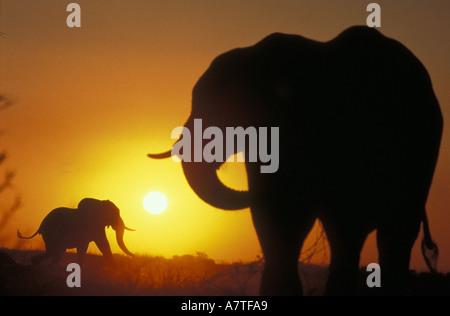 Elefanten Silhouette gegen den orange sunset Himmel am Ufer des Chobe Flusses Botswana-Südafrika - Stockfoto