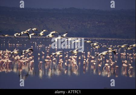 Knäuel weiße Pelikane auf einer thermischen für den Flug nach Lake Baringo steigen ab verlassen Lake Nakuru Kenia - Stockfoto