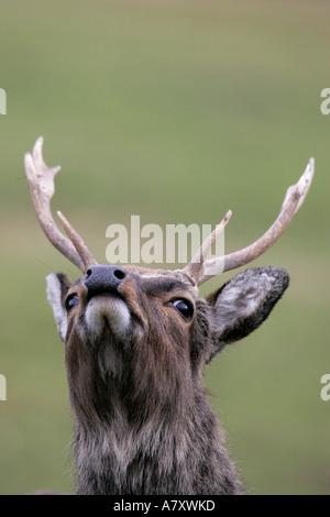 Männliche Hirsch Sika Hirsch Cervus Nippon mit Geweih Kopf in der Luft, den Wind für Gefahr, Blick in die Kamera - Stockfoto