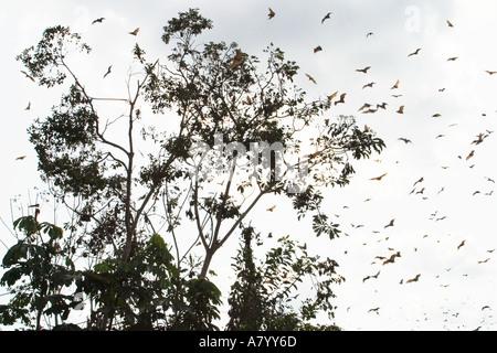 Strohfarben Flughunde oder Flying Fox, nach Hause zu kommen zu Roost kopfüber in den Wipfeln der hohen Bäume im - Stockfoto