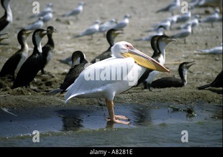 Weißer Pelikan Kormorane Queen Elizabeth National Park Uganda Ostafrika - Stockfoto