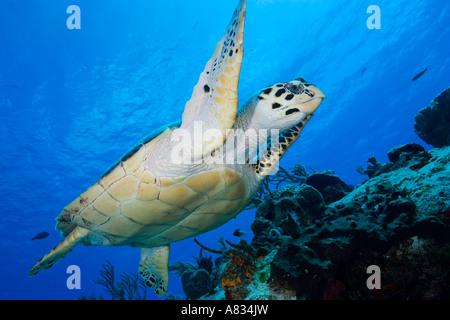 Grüne Schildkröte schwimmen in der Nähe von unten Unterwasser Cozumel Mexiko - Stockfoto