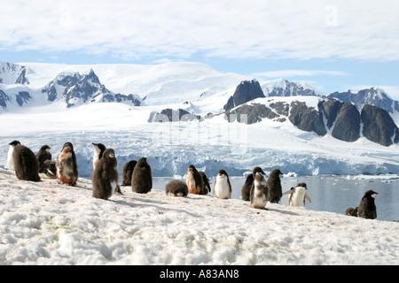 Größte Gentoo-Pinguin-Kolonie in der Antarktis auf Peterman Island, antarktische Halbinsel. - Stockfoto