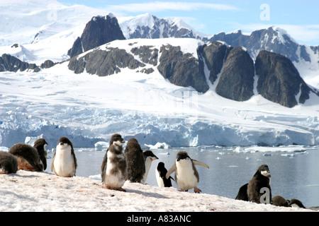 Gentoo-Pinguine in der antarktischen Halbinsel - Stockfoto