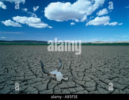 Kuh Schädel ruht auf rissige Erde während Dürre - Stockfoto