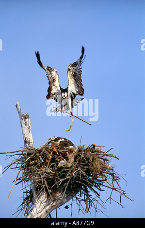 Fischadler Pandion Haliaetus im Flug bereitet im Nest in alten Haken auf Sanibel Island an der Golfküste von Florida - Stockfoto