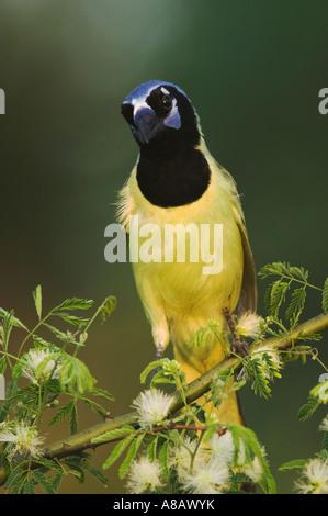 Grün Jay Cyanocorax Yncas Erwachsene auf Guajillo Acacia Berlandieri-Willacy County Rio Grande Valley Texas USA - Stockfoto