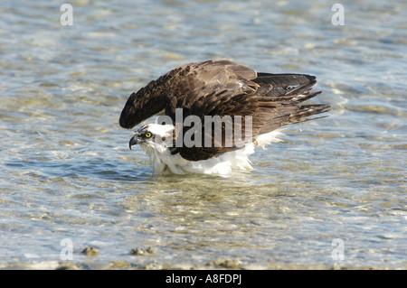 Fischadler (Pandion Haliaetus) Baden am Rand des Strandes entnommen Causeway zwischen Fort Myers und Sanibel Island - Stockfoto