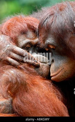 Zwei Orang-Utan umarmt - Stockfoto