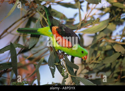 Red winged Parrot Aprosmictus Erythropterus fotografiert im Northern Territory Australien - Stockfoto