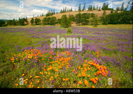Wildblumen entlang der Historic Columbia River Highway Columbia River Gorge National Scenic Area Oregon - Stockfoto